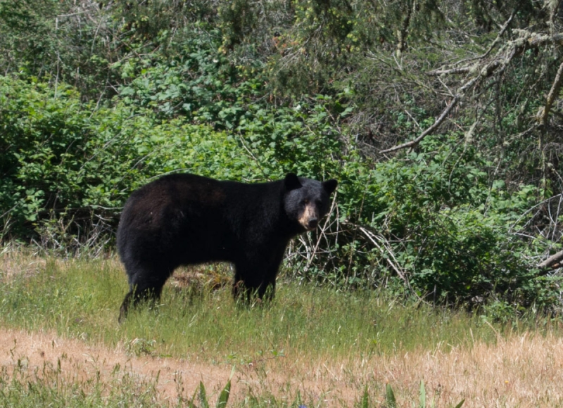 Richard Bell Photo Taken of the Black Bear on San Juan Island