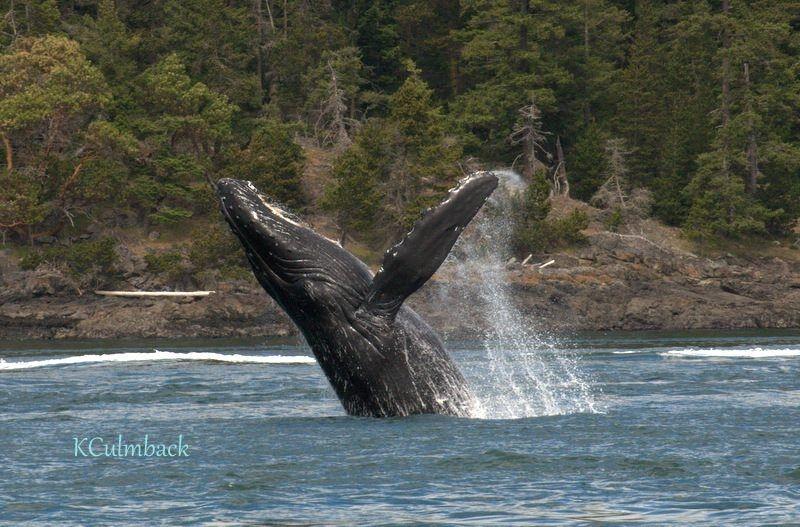 Humpback Whale in Salish Sea