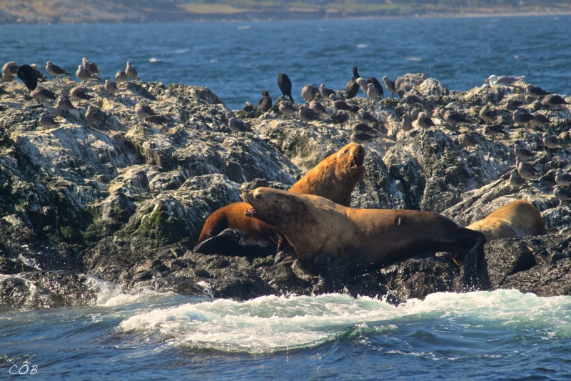 Steller's Sea Lions in the Salish Sea