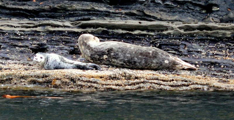 Harbor Seals on San Juan Island